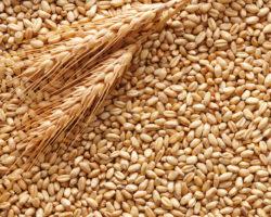 Tavola rotonda su grani antichi, farine e glutine